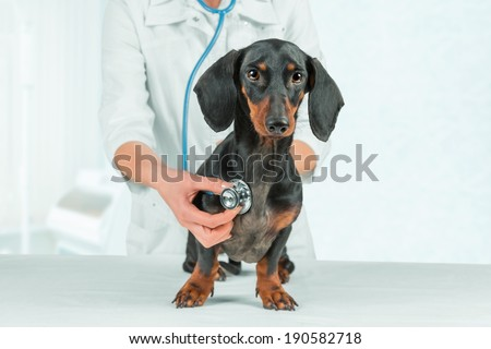 Woman veterinarian listens dachshund - stock photo