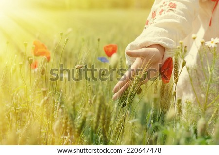 woman walking in a field of poppies and wheat touching them with sun rays on summer day copy space background - stock photo