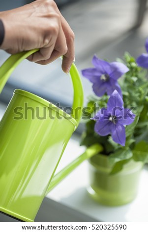 Woman watering purple flower in her house with a green watering can