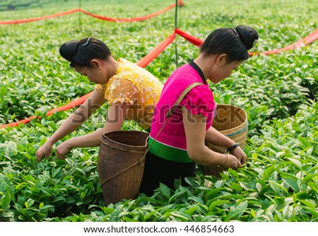 Women from ethnic minorities in traditional costume are picking tea leaves in Moc Chau highland,  Son La province of the northwestern, Vietnam on April 16, 2016.