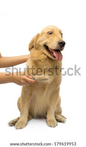 women hand brushing golden retriever fur with force isolated in white background with clipping path