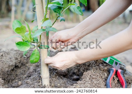 women hands planting a tree in the garden - stock photo