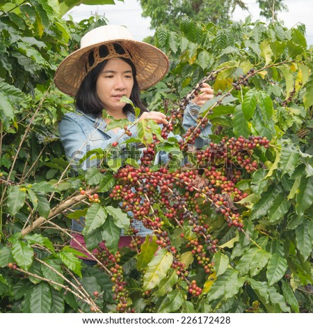 women picking coffee seed in the farmland - stock photo