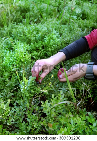 women picking up fresh  blueberries - stock photo