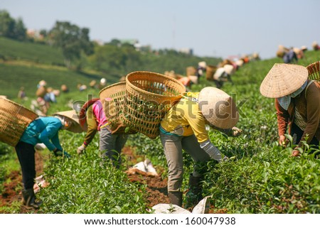 Women with conic hat are harvesting tea leaf in Bao Loc, Vietnam
