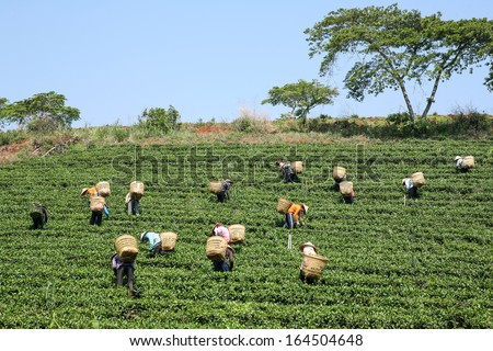 Women with conic hat are harvesting tea leaf in Bao Loc, Vietnam  - stock photo