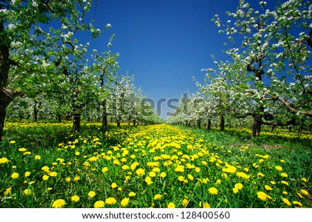 Wonderful apple-trees garden  by  springtime. - stock photo
