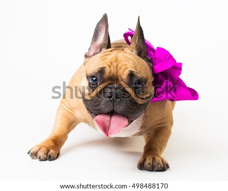 Wonderful beige dog French Bulldog, has purple bow. New Year holiday card. Winter snow background. Close up. Animals life. White isolated. Christmas surprise.