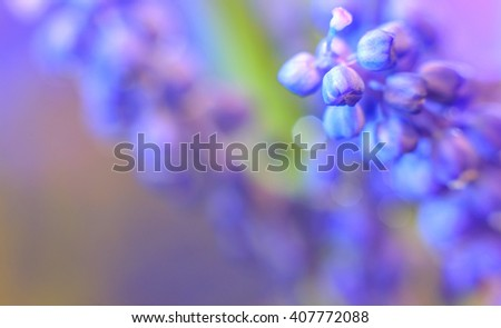 Wonderful Blue abstract background. Blue Muscari flowers, grape hyacinth, Bluebells (Grape Hyacinth, Muscari armeniacum). small depth of field . used as background. color in nature. macro - stock photo