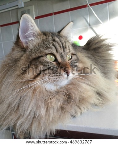 Wonderful brown cat, long haired, in the kitchen