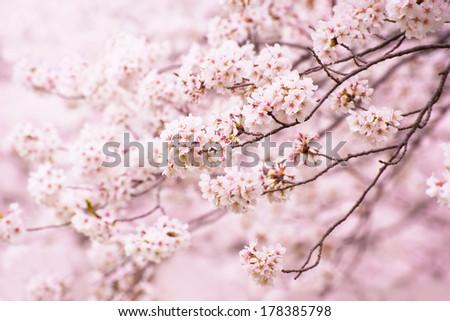 Wonderful cherry blossom in spring. - stock photo