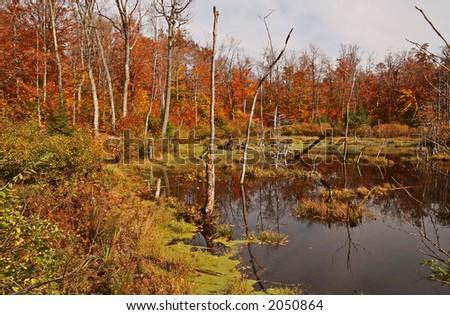 Wonderful Gatineau park swamp foliage - stock photo
