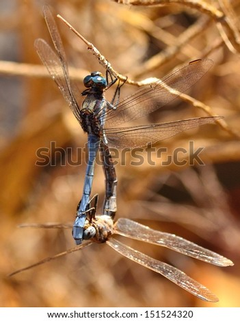 Wonderful image of two beautiful blue dragonflies orthetrum chrysostigma hanging from a fine branch in its mating ritual