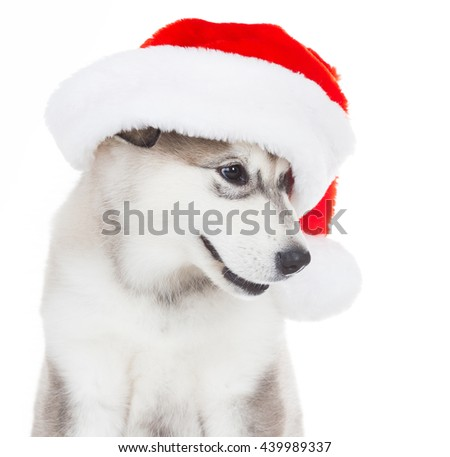 Wonderful one happy puppy Husky, has red Christmas hat. New Year holiday card. Little Santa Claus. Winter background.