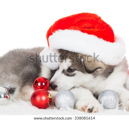 Wonderful one happy puppy Husky, has red Christmas hat, tree toys. New Year holiday card. Little Santa Claus. Winter background.