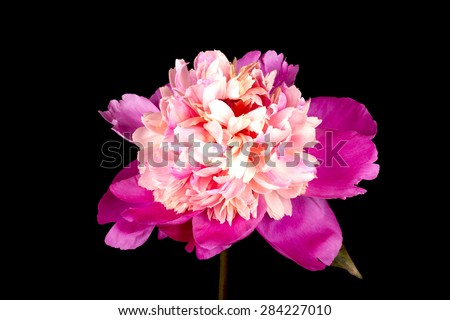Wonderful peony  - stock photo