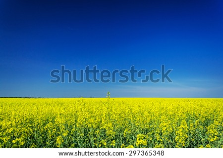 Wonderful rapefield and cloudless sky. - stock photo