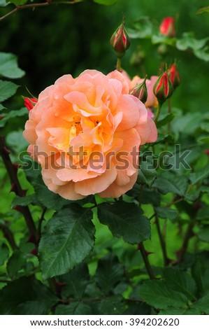 Wonderful rose - stock photo