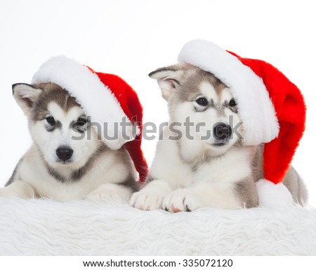 Wonderful two happy puppy Husky, has red Christmas hat. New Year holiday card. Little Santa Claus. Winter background. - stock photo