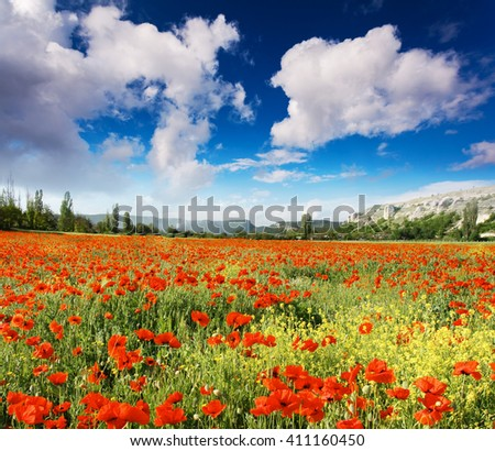 Wonderful view field of red poppies. Clear sky on a sunny day with fluffy clouds. Picturesque and gorgeous scene. Location place Crimea, Ukraine, Europe. Artistic picture. Beauty world. - stock photo