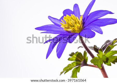 Wonderful windflower springtime blossom/Anemone/yellow and purple season plant