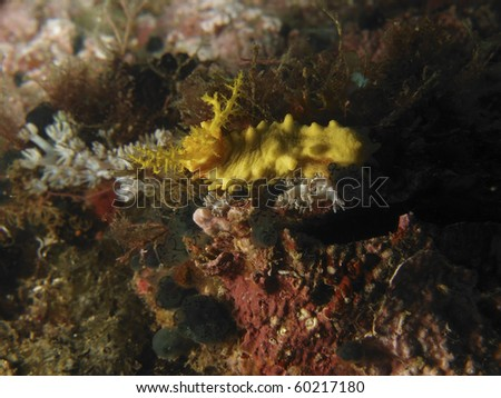 Wonderful yellow Robust Sea Cucumber (Colochirus robustus) nestled on the coral reef wall. Sabang Beach. Philippines. Taken 2007