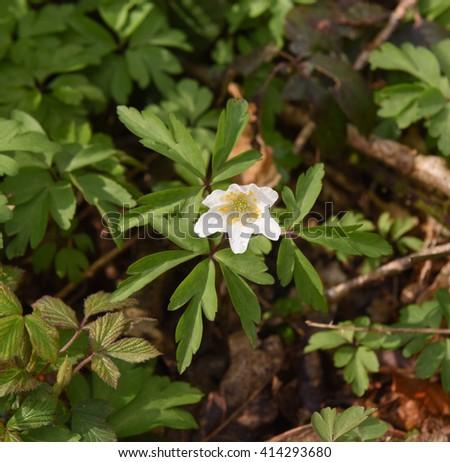 Wood Anemone (Anemone nemorosa) in Chenson Wood in the County of Devon, England, UK. - stock photo