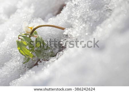 Wood anemone flower in the snow - stock photo