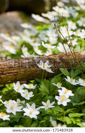Wood anemone in a forest during spring in Sweden.GN - stock photo