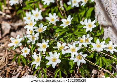 Wood anemones flowering in forest in early spring.