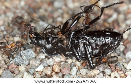 Wood ants, formica working together to transport ground beetle, carabidae - stock photo