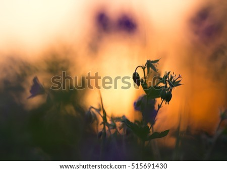 Wood cranebill, Geranium sylvaticum in sunset