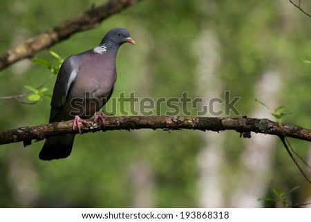 Wood Dove sitting in the forest - stock photo