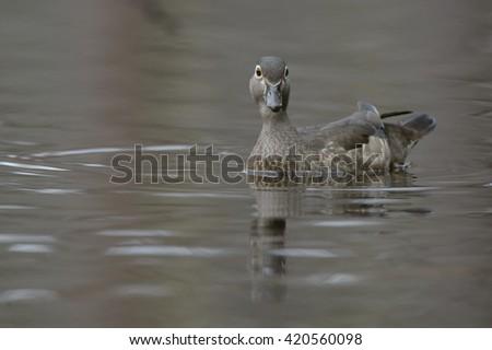 Wood Duck (Aix sponsa) - Female - stock photo