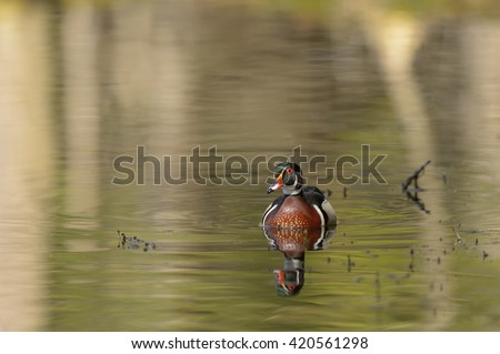 Wood Duck (Aix sponsa) - Green Water- Male - stock photo
