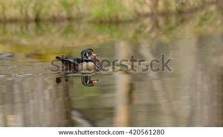 Wood Duck (Aix  sponsa) - Male - stock photo