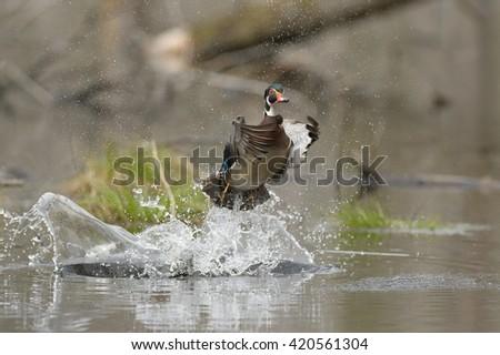 Wood Duck (Aix  sponsa) - Male - Take Off - stock photo