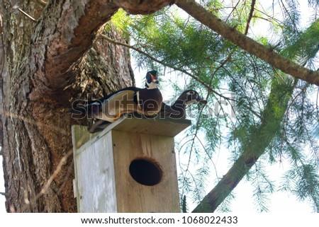 Wood duck nest box bc canada stock photo royalty free 1068022433 wood duck and nest box at bc canada publicscrutiny Choice Image