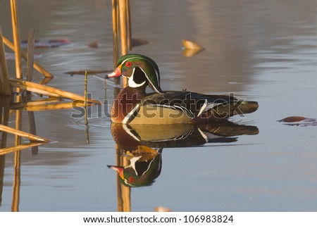 Wood Duck Drake - stock photo