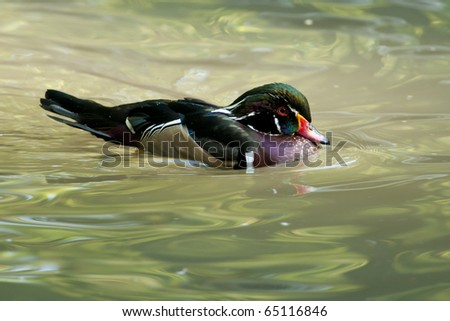 Wood Duck Drake on water - stock photo