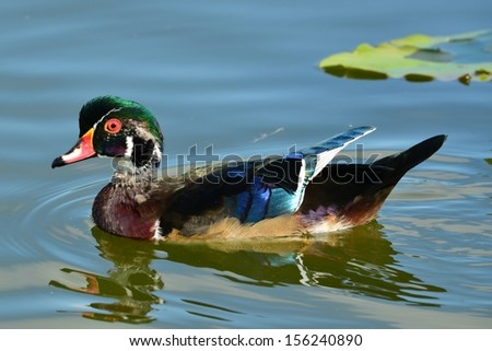 Wood duck in Florida - stock photo