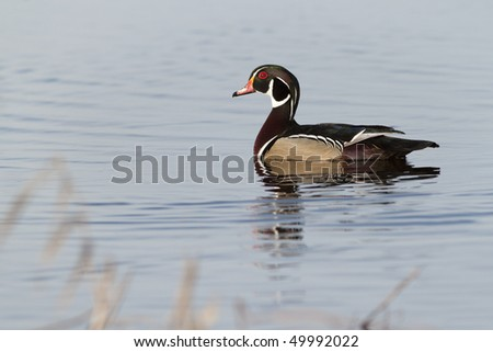 Wood Duck in Spring Plumage - stock photo