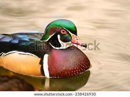 Wood duck Male Carolina duck  ducks Aix sponsa     - stock photo