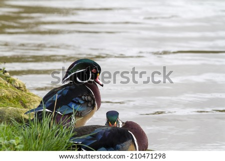 wood duck or Carolina duck (Aix sponsa) - stock photo