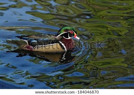 Wood Duck or Carolina Duck (Aix sponsa)  swimming. - stock photo