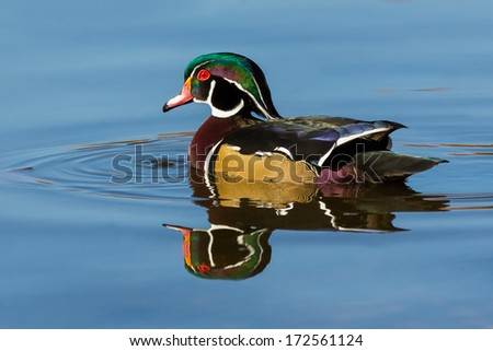 Wood duck portrait - stock photo