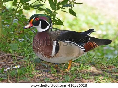 wood duck portrait - stock photo
