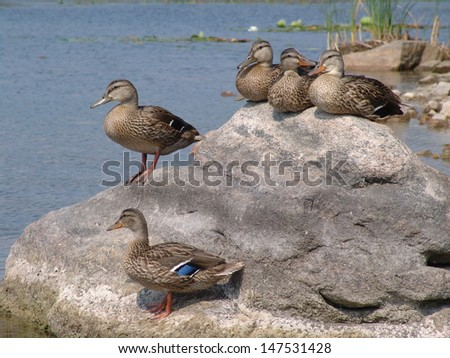 Wood Duck Rock
