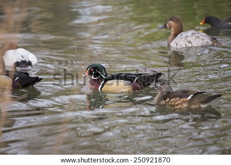 Wood Duck spotted in pond in London, UK  - stock photo