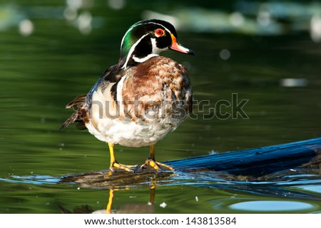 Wood Duck standing on a log. - stock photo